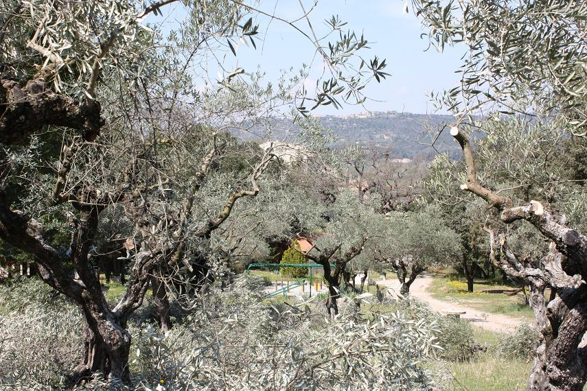 L 39 olivier symbole de la paix camping les olivettes 04190 les m es france - Taille de l olivier ...